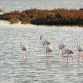 Flamingos in der Camargue.