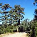 ... gehen in Zedernwälder über.
