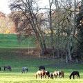 Junghengste aus Marbach wachsen auf den Weiden am Gestütsmuseum Offenhausen auf.