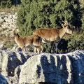 El Torcal - wilde Bergziegen