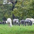 Lipizaner - Stuten und Fohlen auf der Weide