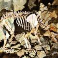 Höhlenbärenskelett in der Bärenhöhle auf der schwäbischen Alb.