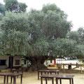 El Rocio - alter Olivenbaum