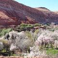 Mandelblüte im Hohen Atlas.
