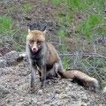 ... zutraulichen Fuchs.