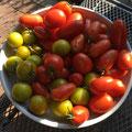 Beste Tomatenernte seit Jahren...