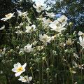 シュウメイギク(秋明菊)も奇麗に咲き誇っています
