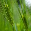 小麦プロテイン