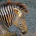 Zebra im Nürnberger Tiergarten