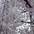 淡いピンクが風に揺れてほっこり♪