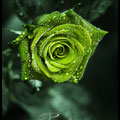 Paradise Rose
