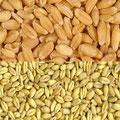 semi di grano duro e tenero