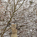 Im Garten von Wolfgang Böning: Schwanzmeisen