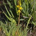 Beinbrech (Narthecium ossifragum)
