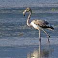 Flamingo - Jungtier (Phoenicopterus roseus) in der Saline Ulcini
