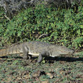 Sumpfkrokodil (Crocodylus palustris) im Yala Nationalpark