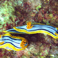 Pyjamanacktschnecken (Chromodoris quadricolor)
