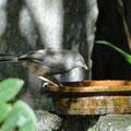 Einer der häufigsten Vögel in Sri Lanka - Gelbschnabeldrossling (Turdoides affinis)