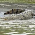 Spitzkrokodil - Crocodylus acutus
