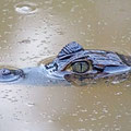 Krokodilkaiman - Caiman crocodylus