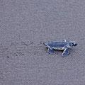 Der mühsame Weg zum Wasser - Suppenschildkröte - Chelonia mydas