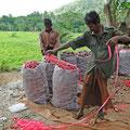 Bauern beim Verschnüren mir noch unbekannter aber gut schmeckender Feldfrüchte
