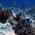 Arothron hispidus - Weißflecken-Kugelfisch (im Riff)