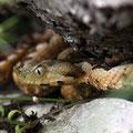 Europäische Hornotter (Vipera ammodytes)
