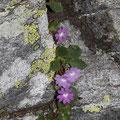 Behaarte Schlüsselblume (Primula hirsuta)
