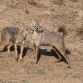 Goldschakale (Canis aureus)