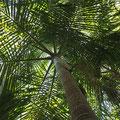Ebenfalls ein Endemit der Seychellen (Deckenia nobilis)