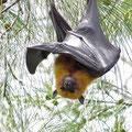 Seychellen-Flughund (Pteropus seychellensis) eines der wenigen heimischen Säugetiere auf den Seychellen