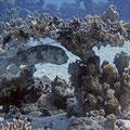 Cyclichthys spilostylus - Gelbflecken-Igelfisch
