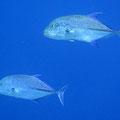 Blauflossen-Makrele (Caranx melampygus)