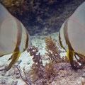 Gemeiner Fledermausfisch (Platax pinnatus) von Angesicht zu Angesicht
