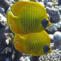 Chaetodon semilarvatus - Masken-Falterfisch