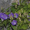 Campanula carpatica - Karpaten-Glockenblume