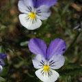 Vogesen-Stiefmütterchen (Viola cf. lutea)