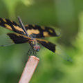 Common Picture Wing - (Rhyothemis variegata)