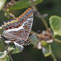 Charaxes jasius - Erdbeerbaumfalter