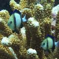 Weißschwanz-Preußenfische (Dascyllus carneus)
