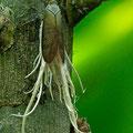 Eine Zikadenart mit Anhängsel