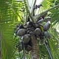 Seychellenpalme (Lodoicea maldivica) oder auch Coco de mer - größte Nuß der Welt