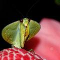 eine weitere Gottesanbeterin - gute Mimikri eines Blattes.