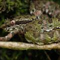Schlegelsche Lanzenotter - Bothriechis schlegelii