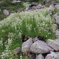Wasser-Steinbrech (Saxifraga aquatica)