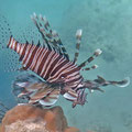 Rot-Feuerfisch (Pterois miles)