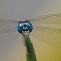 Portrait einer Libelle (Oligoclada umbricola)