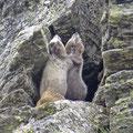 Eisgraues Murmeltier (Marmota caligata)