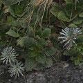 Pyrenäen-Felsenteller (Ramonda myconi) mit Pyrenäen-Steinbrech (Saxifraga longifolia)